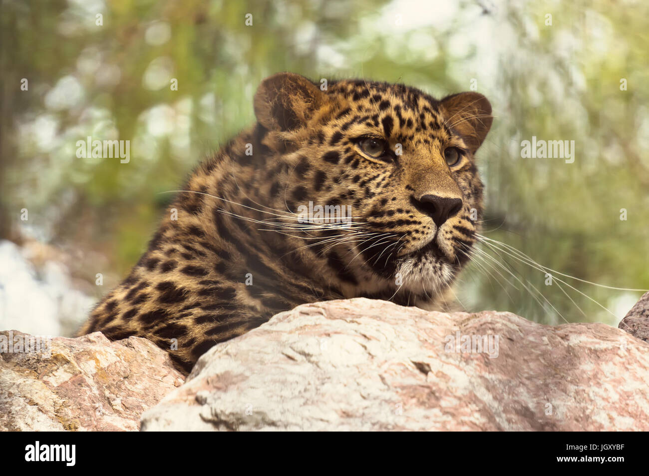 Amur leopard sitting on a rock. The far Eastern leopard registered in the red book. - Stock Image
