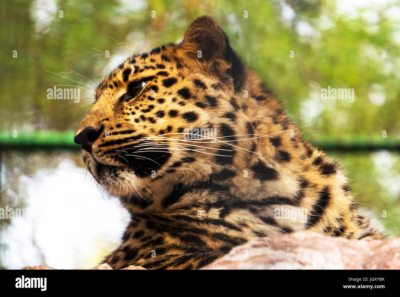 The Amur leopard sits in a cage. Portrait of a beautiful leopard. The far Eastern leopard registered in the red - Stock Image