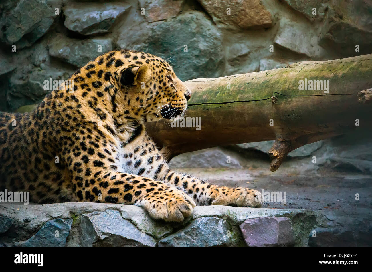 Leopard on the Rock. Far Eastern leopard is a carnivorous mammal of the family Felidae, one of the subspecies of - Stock Image