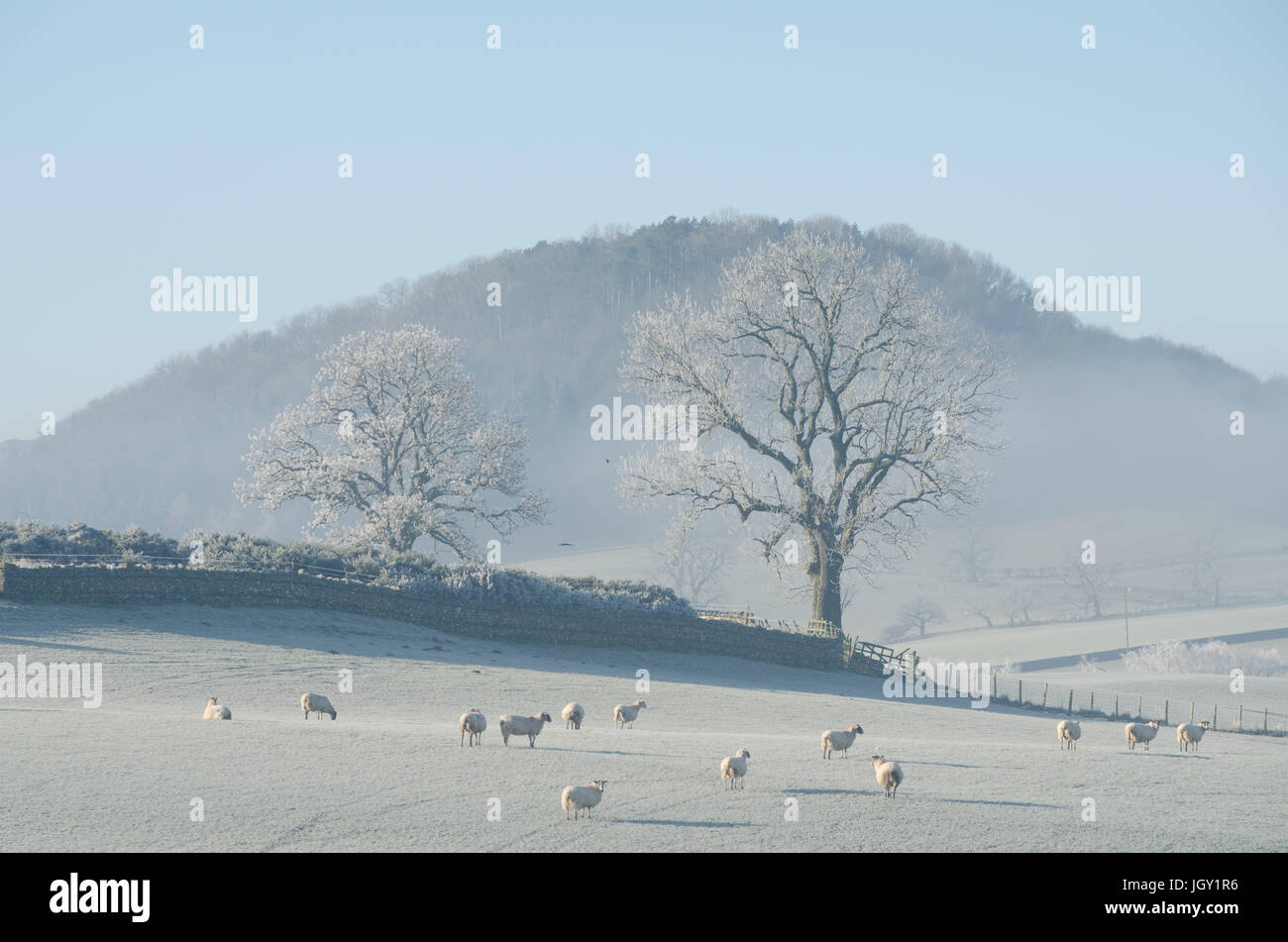 Herd of sheep in frosty field, The Lake District, UK - Stock Image