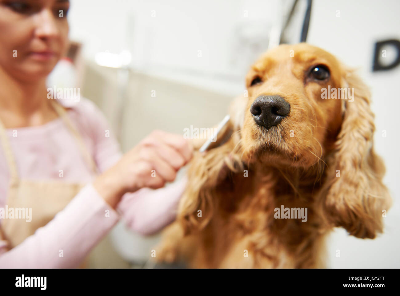 Female groomer brushing cocker spaniel at dog grooming salon - Stock Image