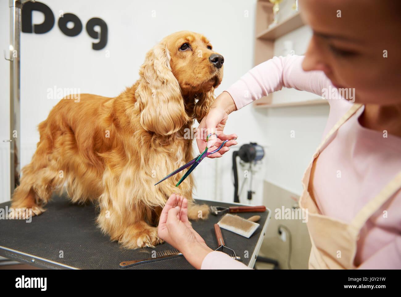 Female groomer trimming cocker spaniel at dog grooming salon - Stock Image
