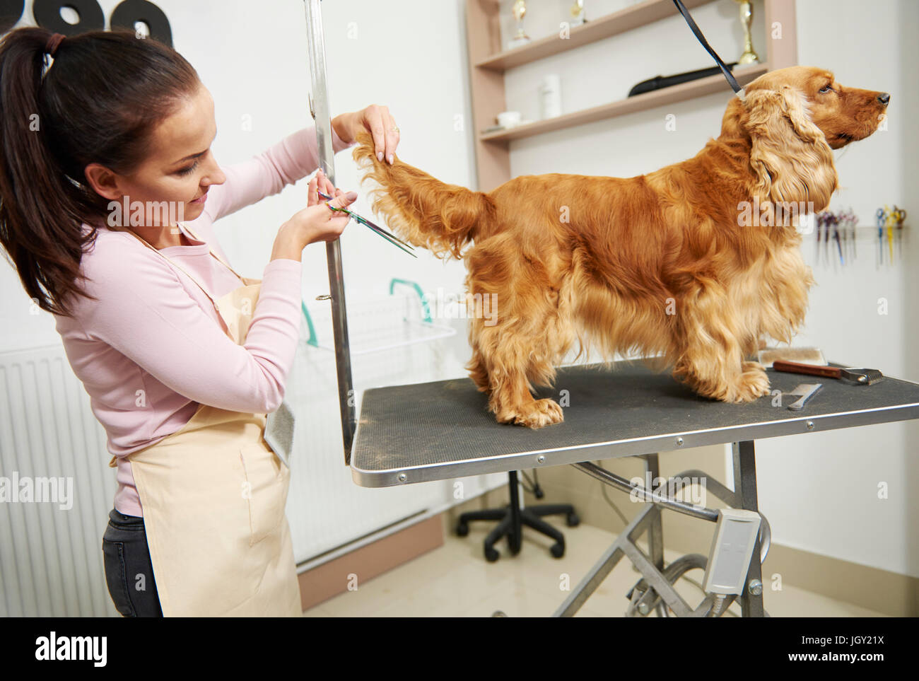 Female groomer trimming cocker spaniel's tail at dog grooming salon - Stock Image