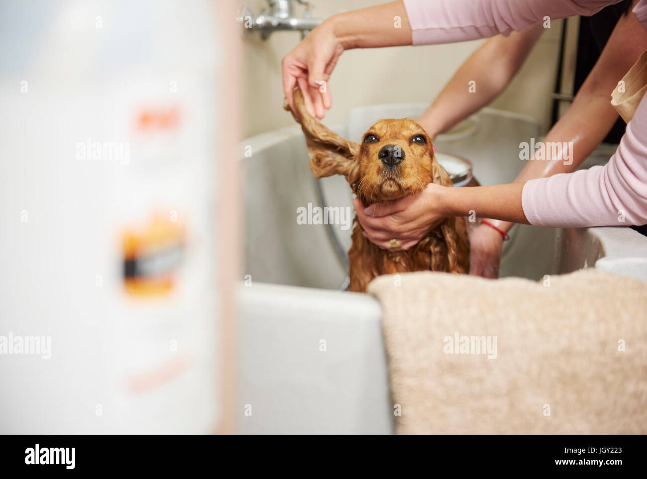 Female groomers showering cocker spaniel in bath at dog grooming salon - Stock Image
