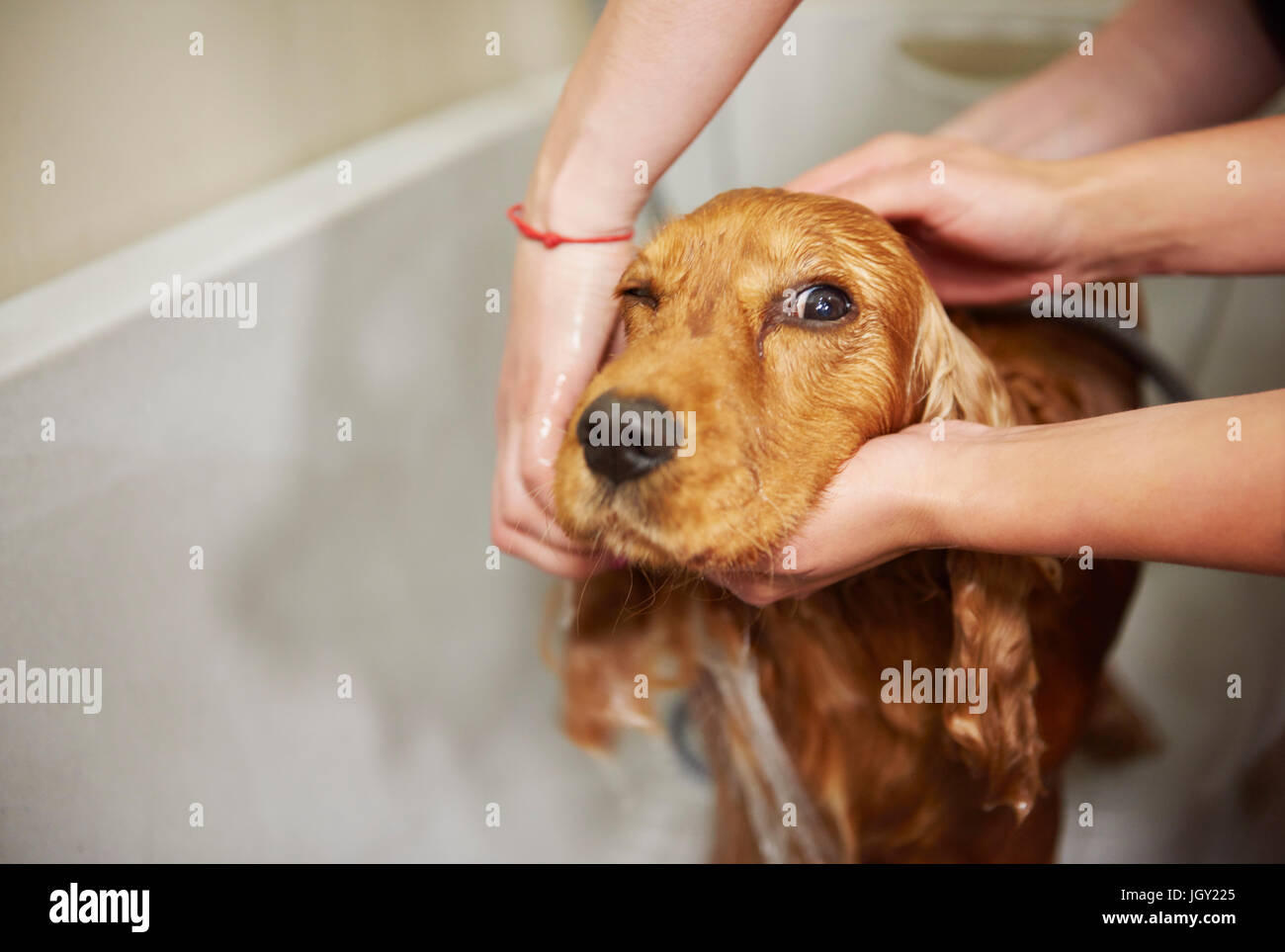 Hands of female groomers showering cocker spaniel in bath at dog grooming salon - Stock Image