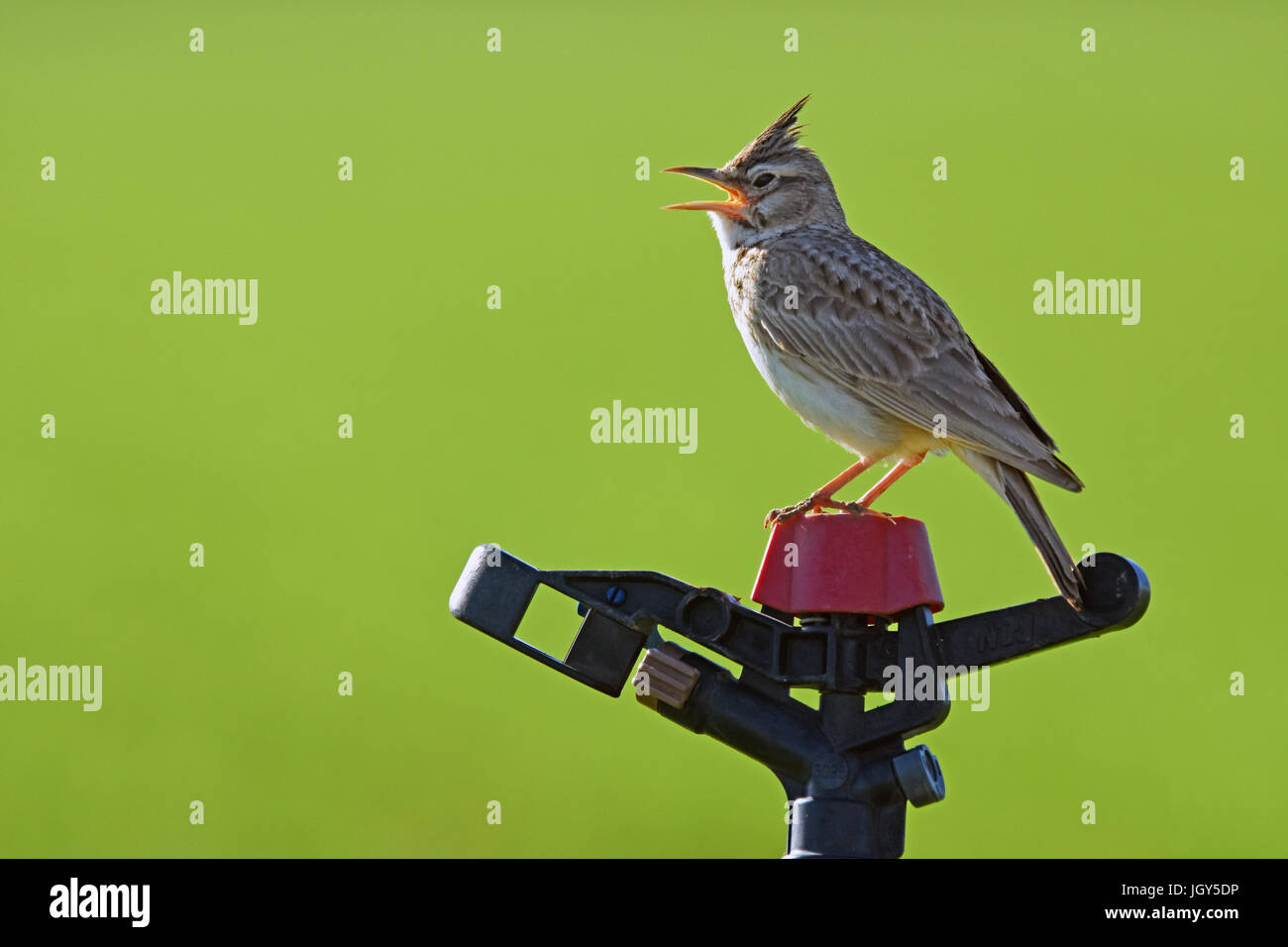 Crested lark sings on water sprinkler - Stock Image