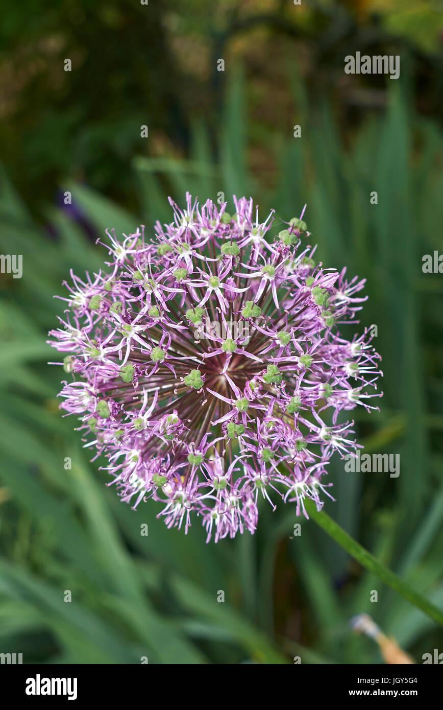 Allium giganteum flower - Stock Image
