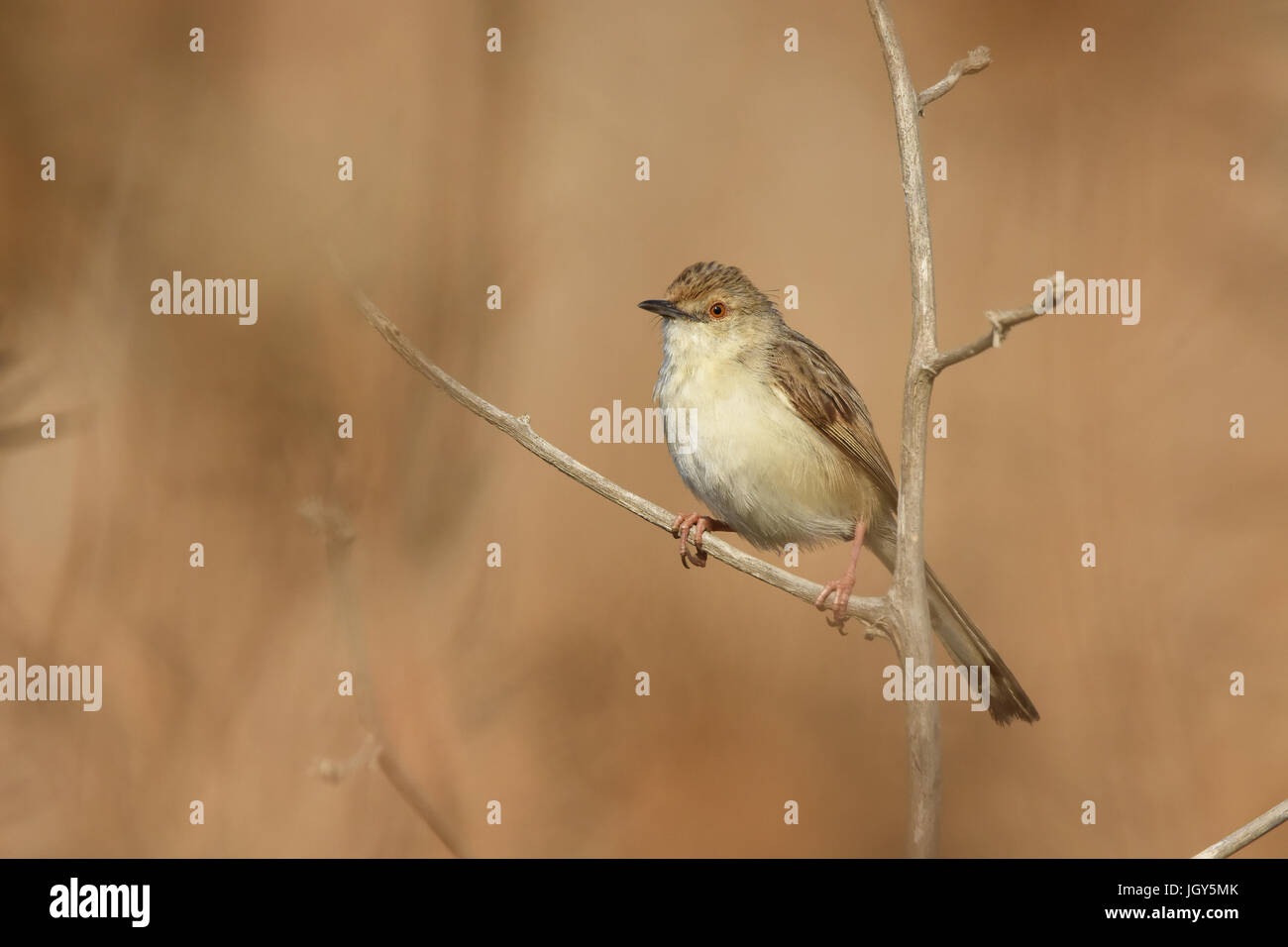 Graceful Prinia (Prinia gracilis) - Stock Image