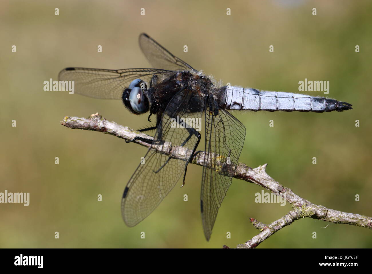 Scarce Chaser Dragonfly (Blue Lagoon Nature Reserve, Milton Keynes, July 2015) - Stock Image