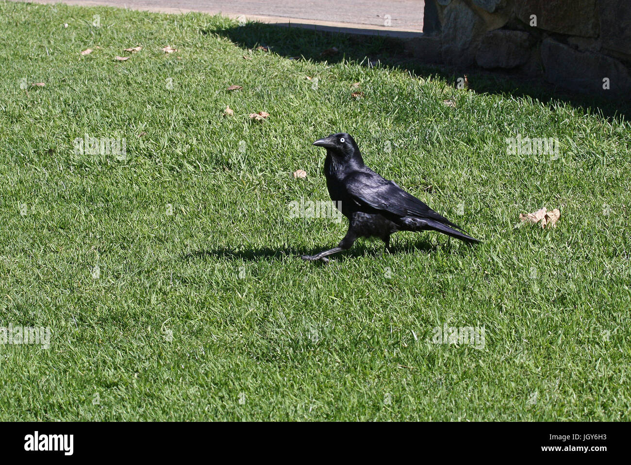 An Australian Raven (Corvus coronoides) walking on the grass in a park in Perth , Western Australia - Stock Image