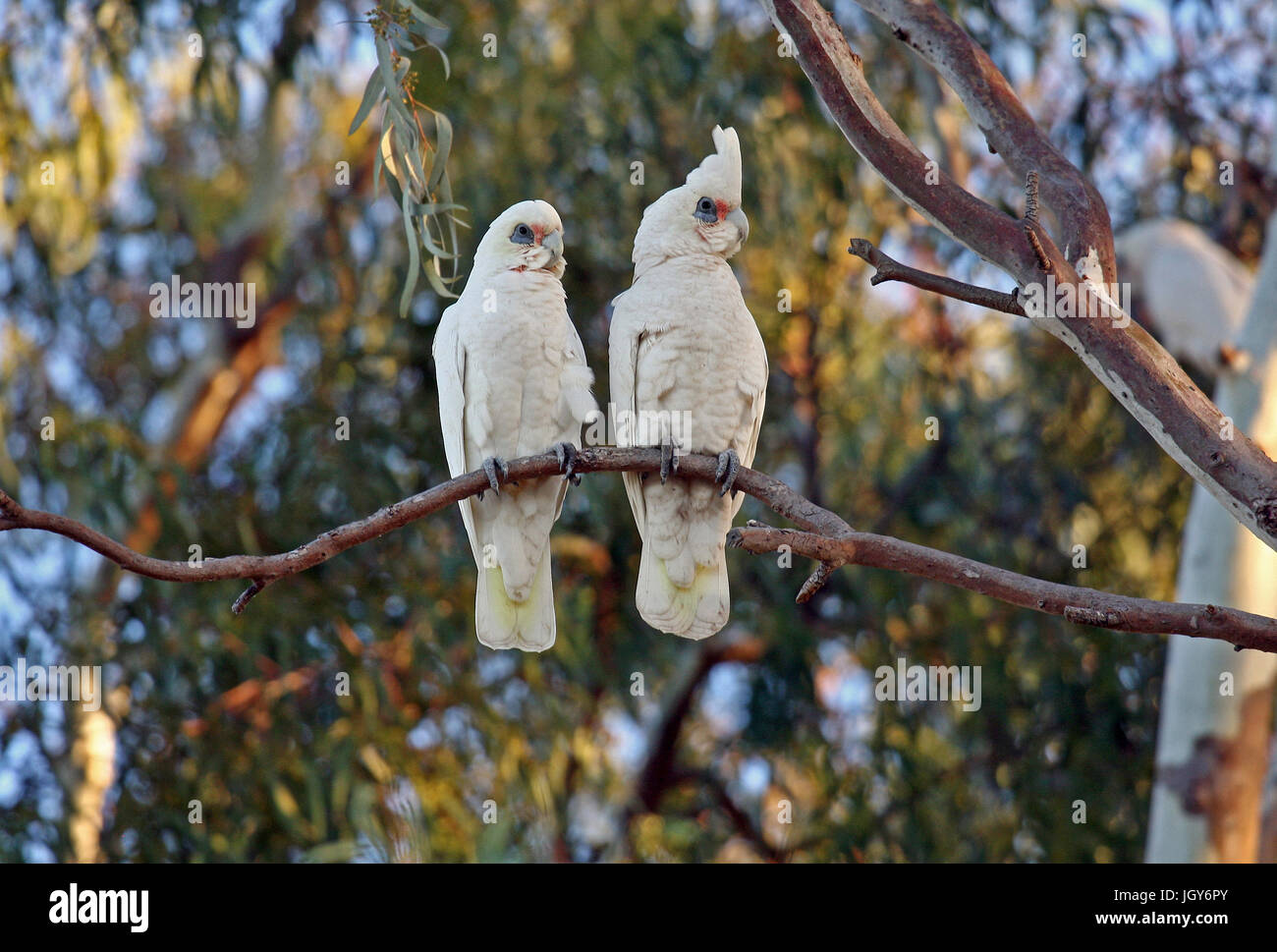 A pair of Western Corellas (Cacatua pastinator) in the northern suburbs of Perth in Western Australia - Stock Image