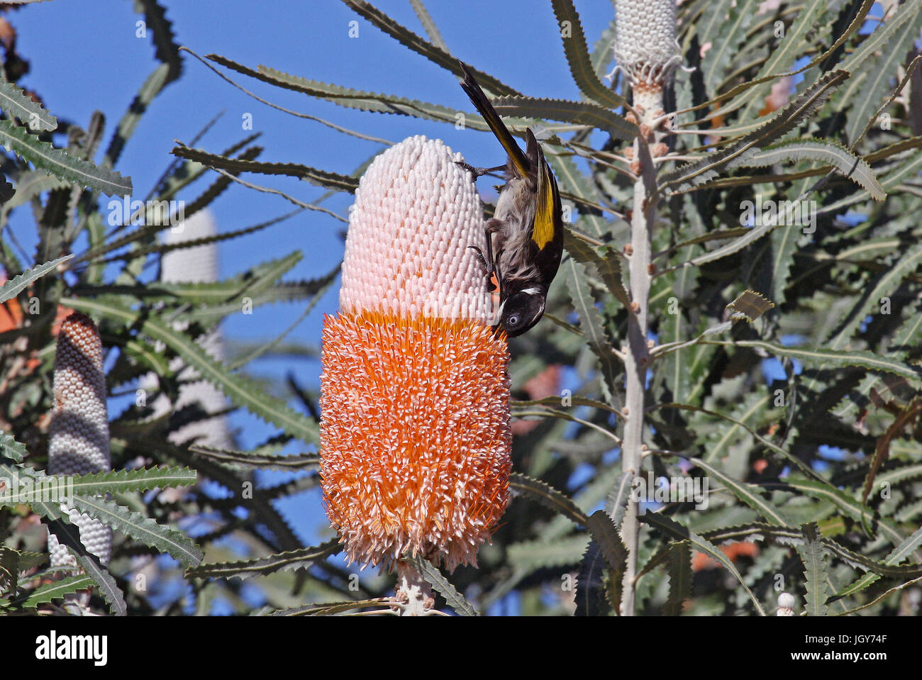 A New Holland Honeyeater (Phylidonyris novaehollandiae longirostris) feeding from a Banksia flower near Dwellingup - Stock Image