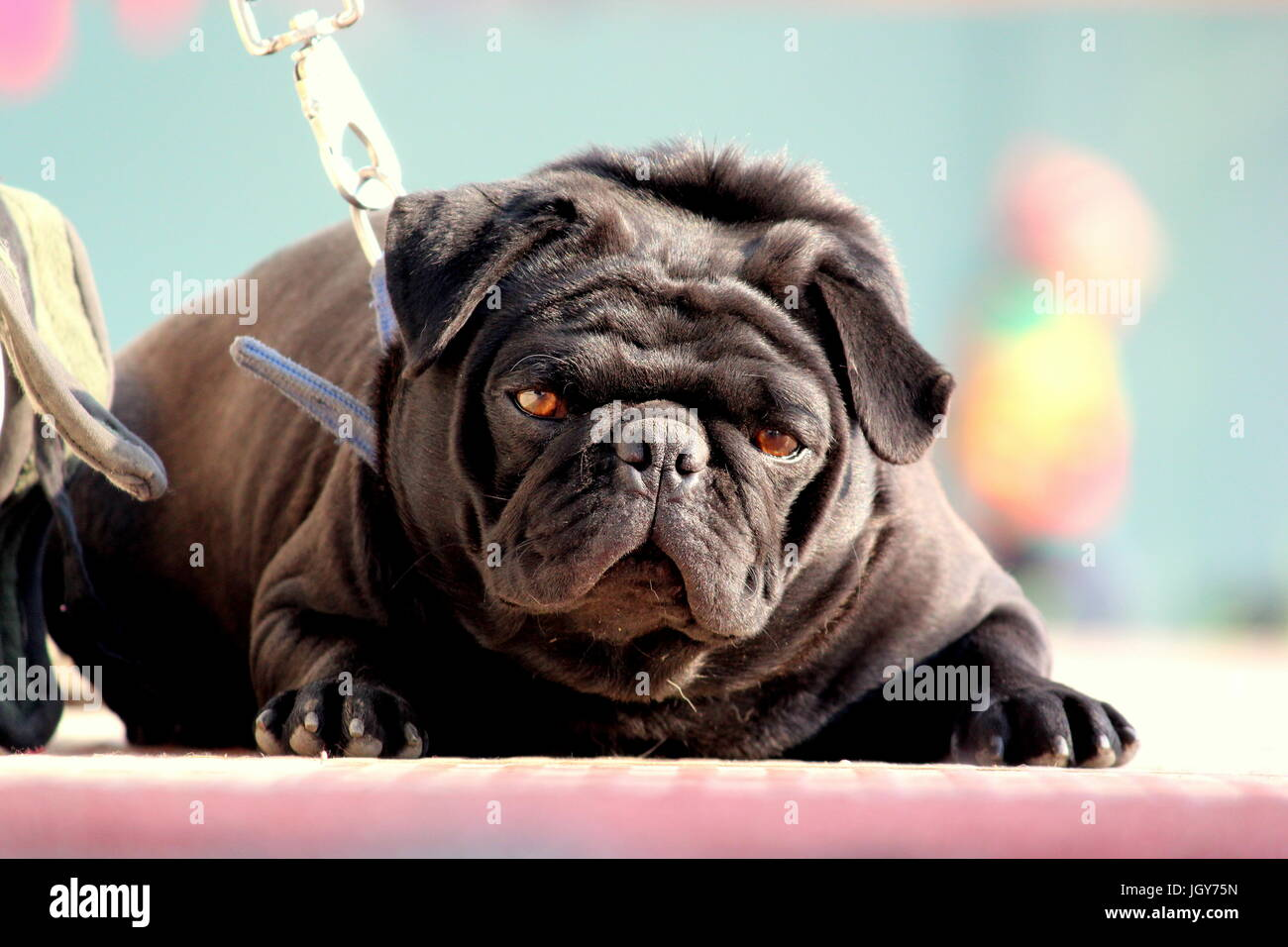 a cute pug looking at his musing! Stock Photo