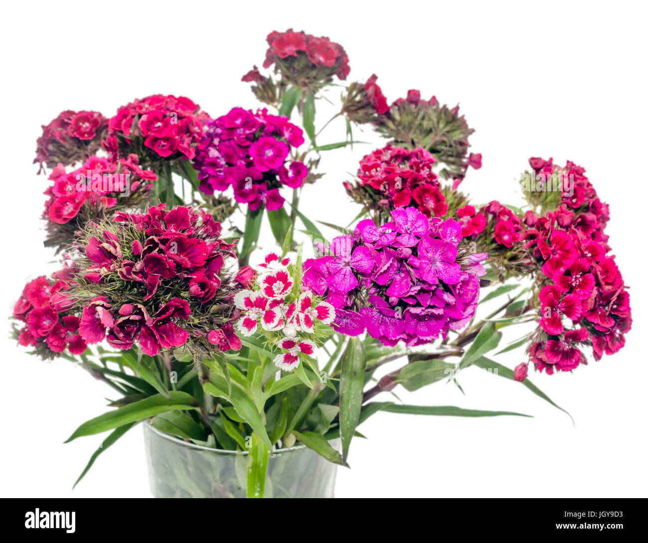 Pink, purple Dianthus flowers in a transparent vase - Stock Image
