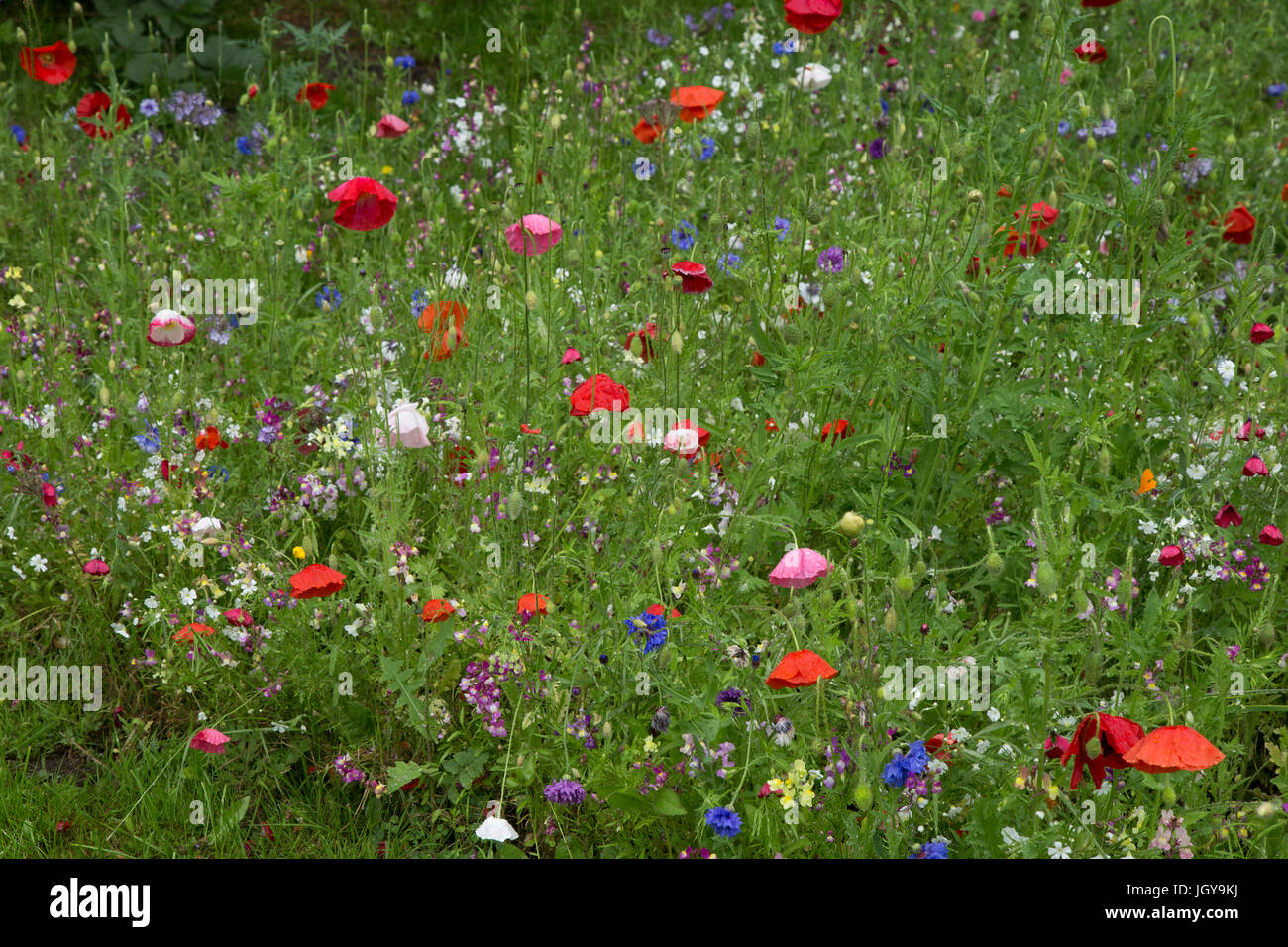 English wild flower garden - Stock Image