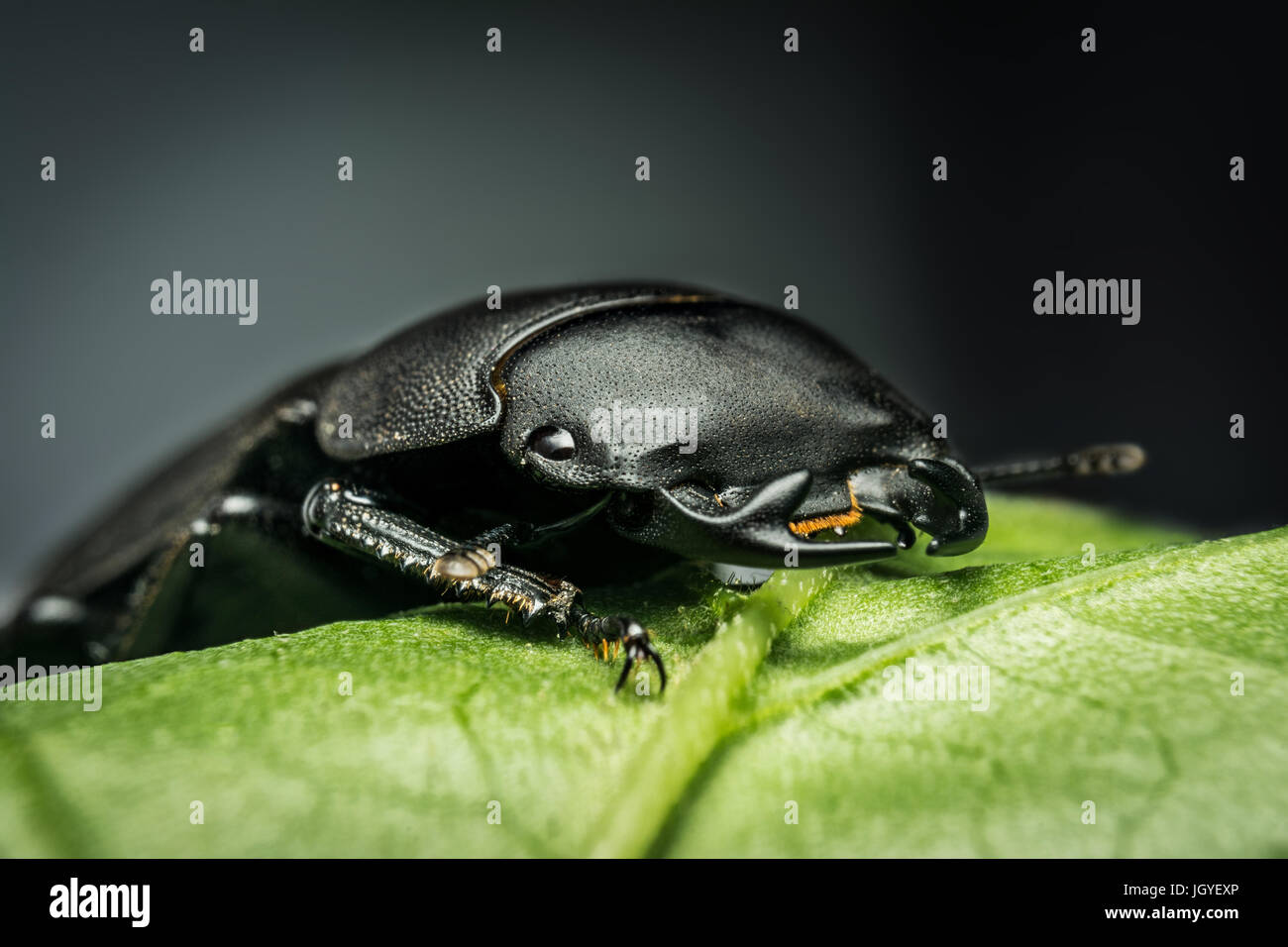 Young stag beetle (Lucanus cervus) on green leaf - Stock Image