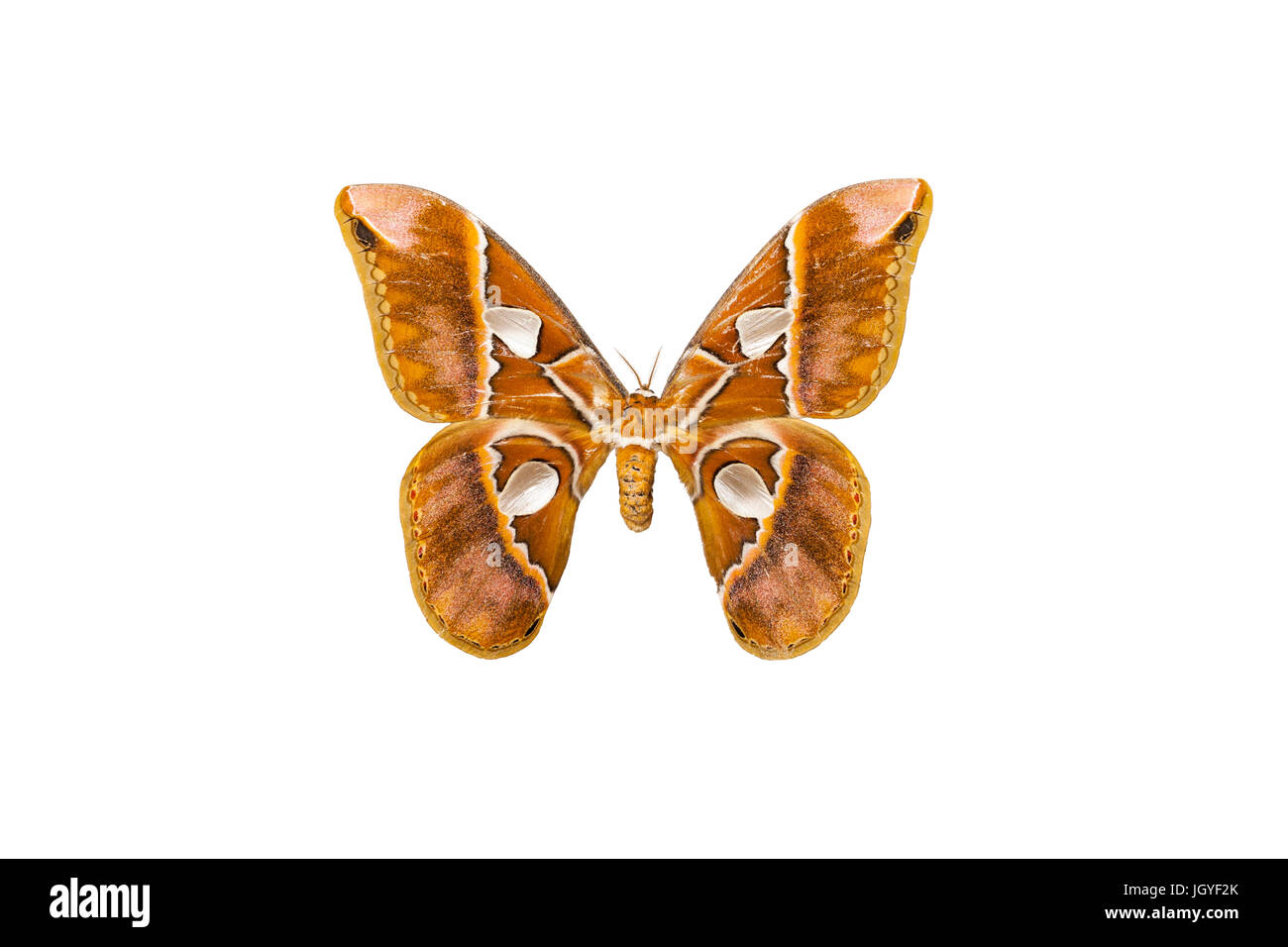 Rothschidlia moths are among the largest Lepidopterans in the world. - Stock Image