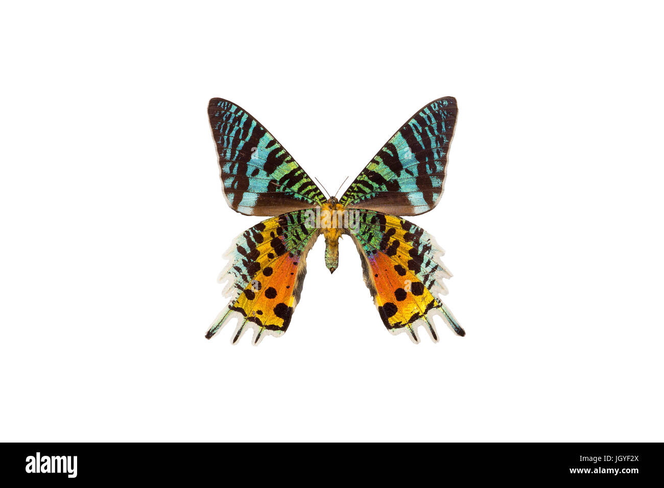 One of the most colorful lepidopterans in the world - madagascan sunset moth (Urania ripheus). - Stock Image
