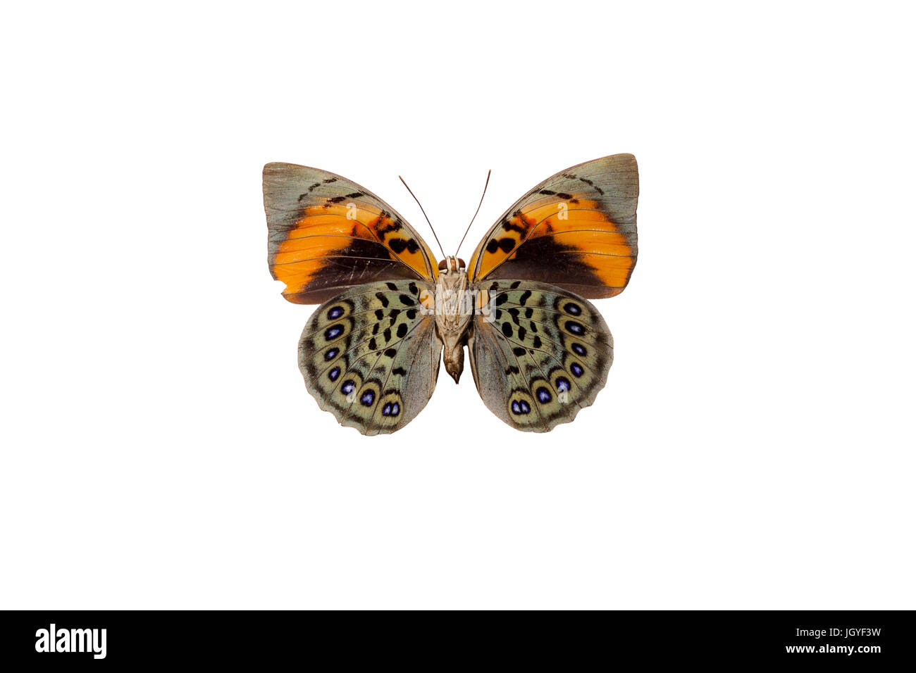 Agrias narcissus is a rare and evasive butterfly of the family Nymphalidae. From French Guiana. - Stock Image
