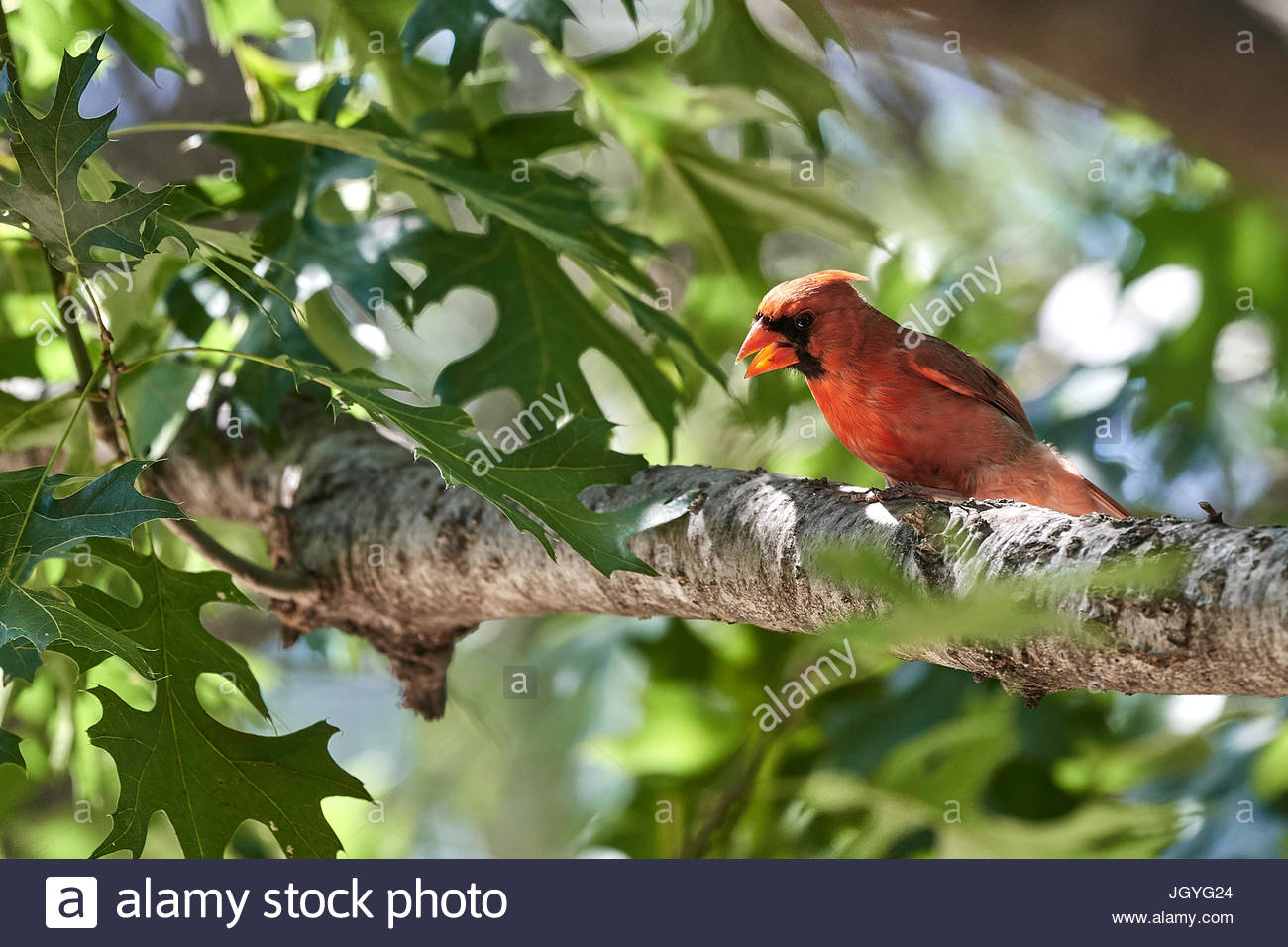 Red northern cardinal cawing in tree, leaves in background with bokeh - Stock Image