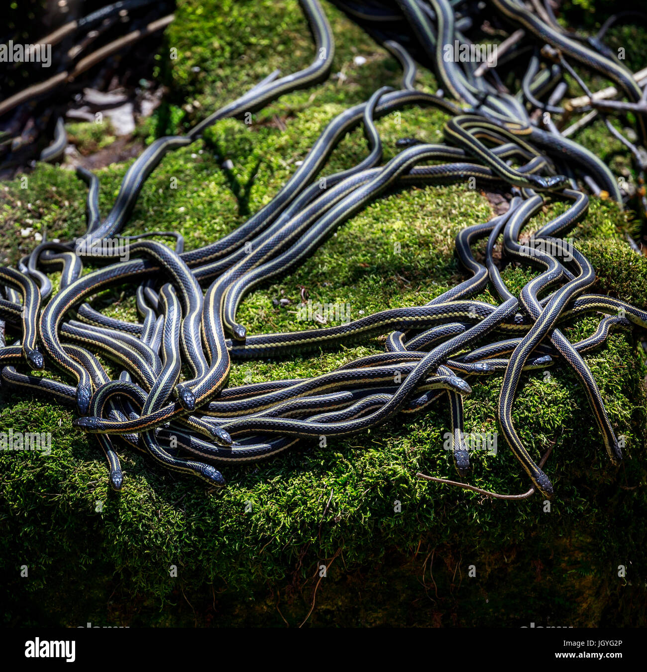 Red-sided Garter snakes emerging from wintering den, Narcisse, Manitoba, Canada. - Stock Image