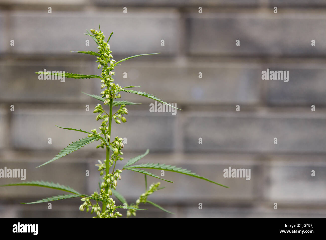 Cannabis on a gray background - Stock Image