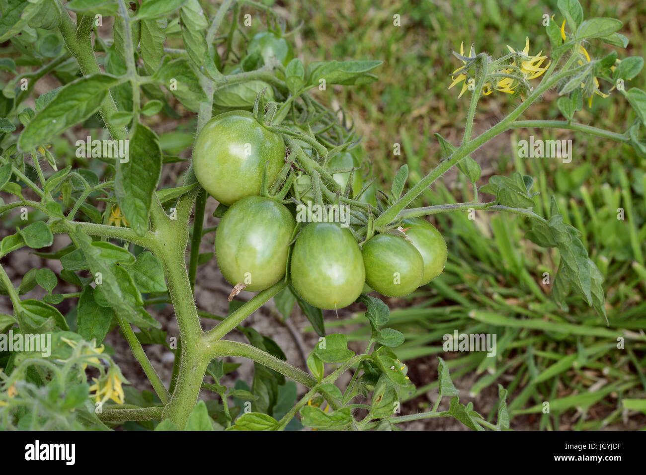 Image Of Do Tomato Plants Grow Yellow Flowers Tomato Plants Growing