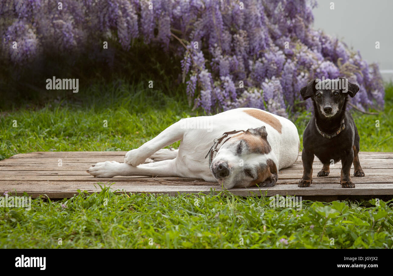 A tiny mini black dachshund dog stands on a wooden board with his best friend a white american staffordshire terrier, - Stock Image