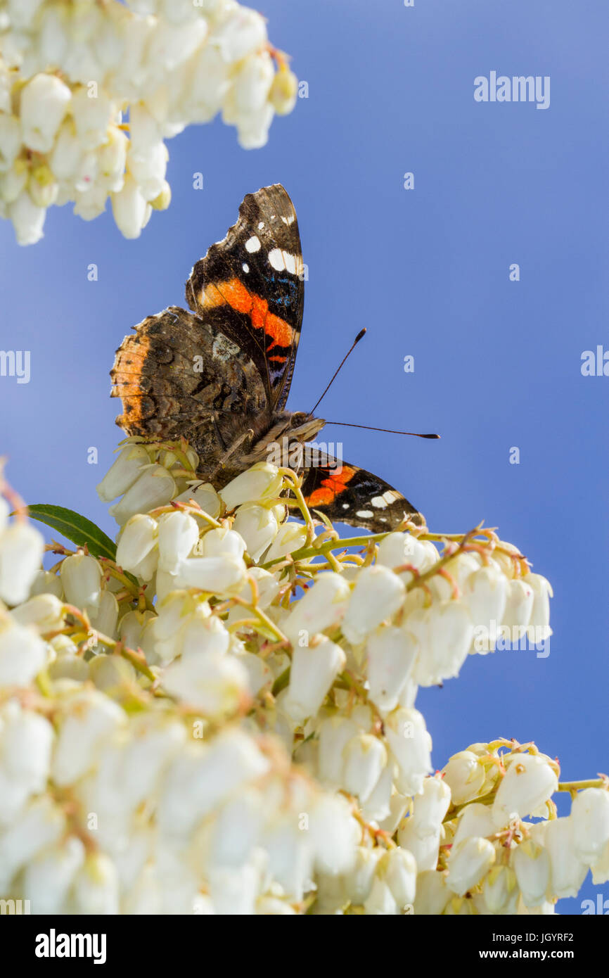 Red Admiral butterfly (Vanessa atalanta) adult basking on Pieris japonica flowers in a garden. Powys, Wales. March. Stock Photo