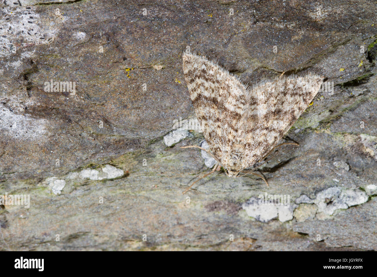 Mottled Grey (Colostygia multistrigaria) adult moth resting on stone. Powys, Wales. April. - Stock Image