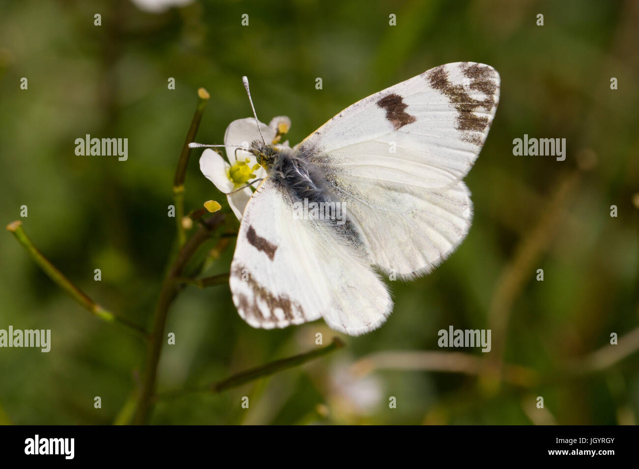 Bath White (Pontia daplidice) adult butterfly. Chaîne des Alpilles, Bouches-du-Rhône, France. April. Stock Photo