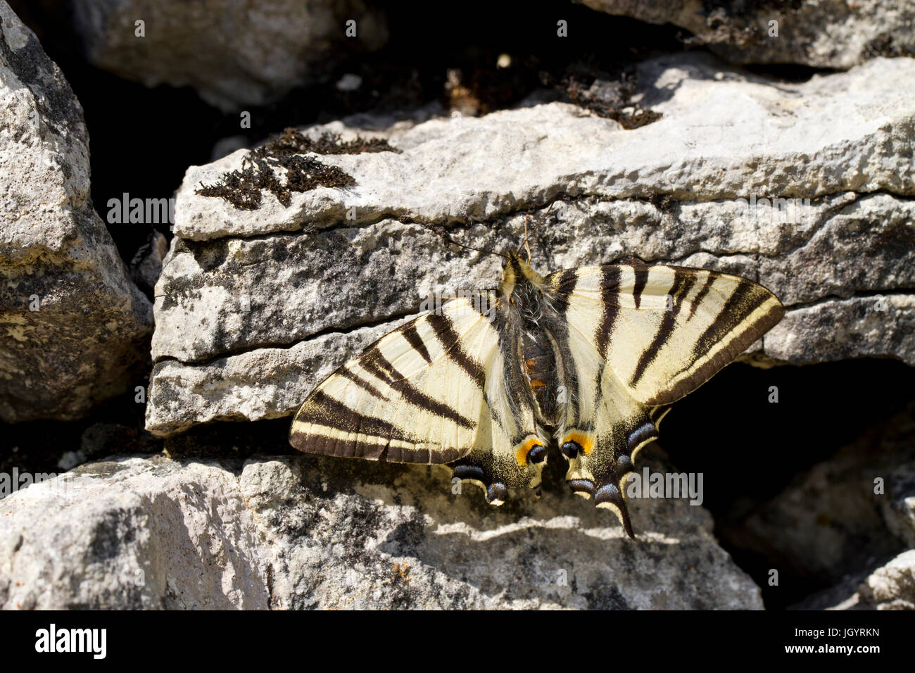Scarce Swallowtail (Iphiclides podalirius) adult butterfly basking on a dry-stone wall. On the Causse de Gramat, - Stock Image