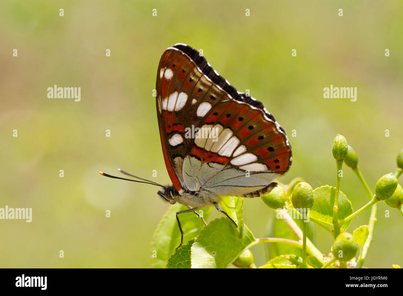 Southern White Admiral (Limenitis reducta) adult underside of  butterfly basking in sunshine. On the Causse de Gramat, - Stock Image