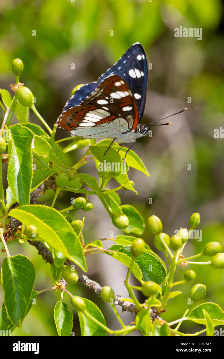 Southern White Admiral (Limenitis reducta) adult  butterfly basking in sunshine. On the Causse de Gramat, Lot Region, - Stock Image