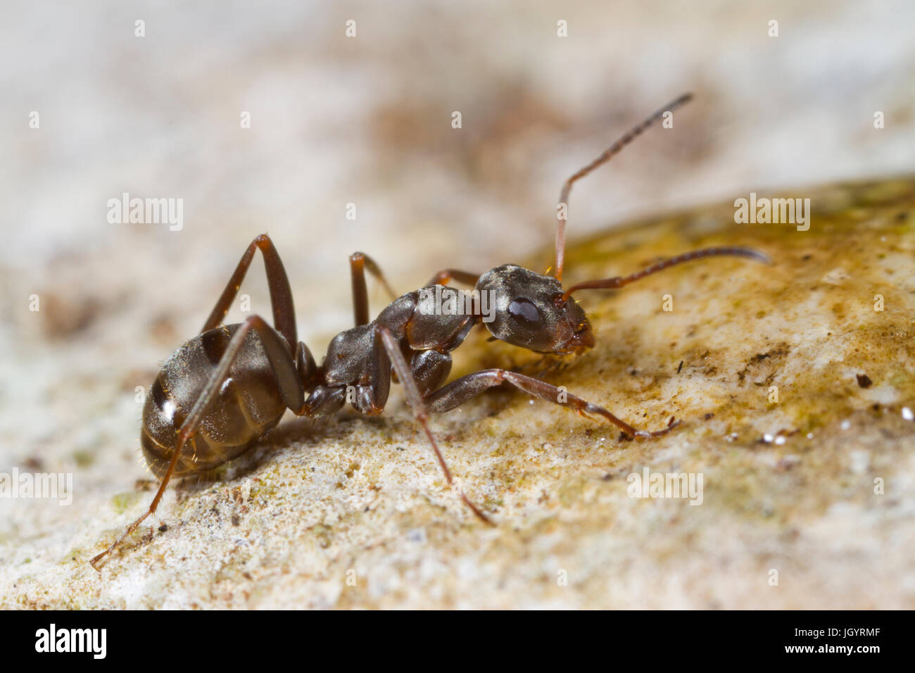 Ant Formica cunicularia adult worker drinking from a water droplet. On the Causse de Gramat, Lot Region, France. Stock Photo