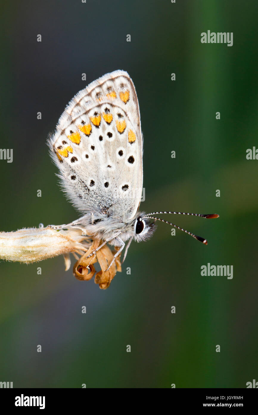 Brown Argus (Aricia agestis) butterfly adult male roosting in the evening. On the Causse de Gramat, Lot Region, - Stock Image