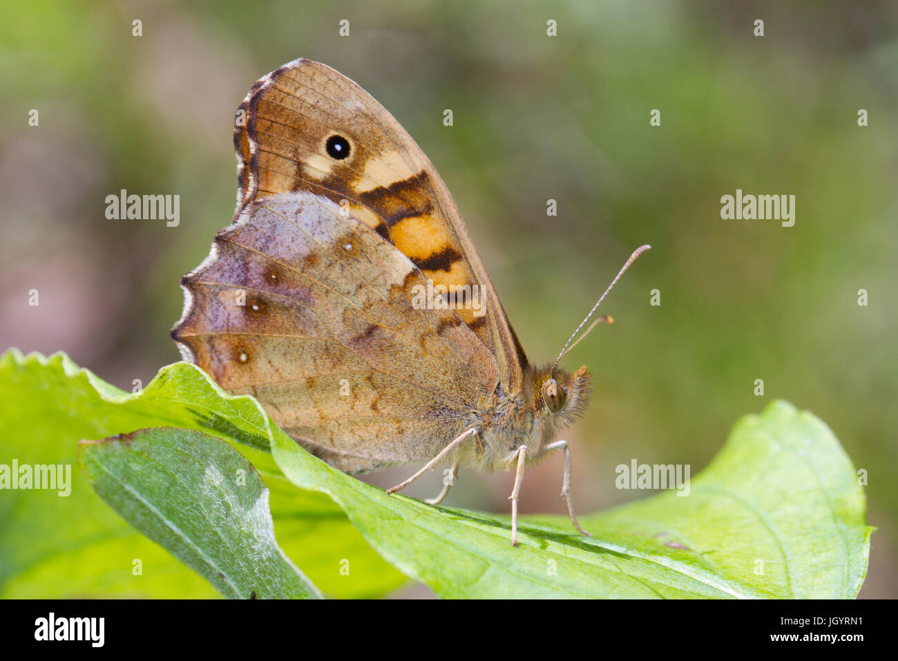 Speckled Wood (Pararge aegeria aegeria)  adult butterfly. On the Causse de Gramat, Lot Region, France. May. - Stock Image