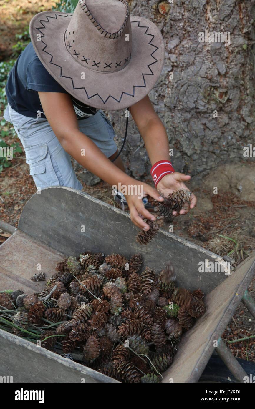 Boy picking pine cones. France. - Stock Image