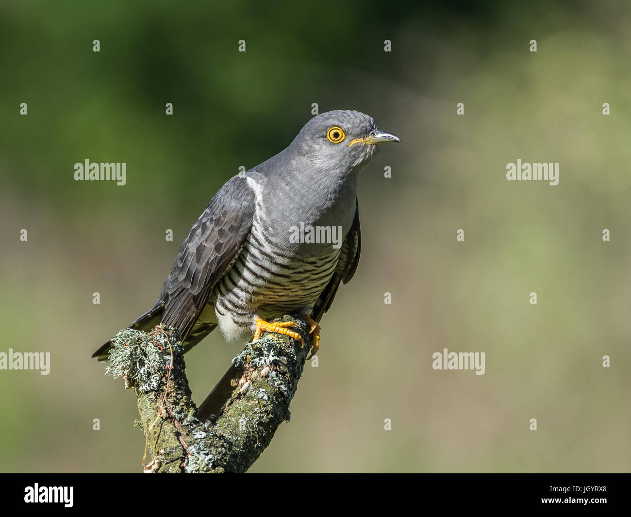 Cuckoo (Cuculus Canorus) Thursley common Surrey England UK Stock Photo