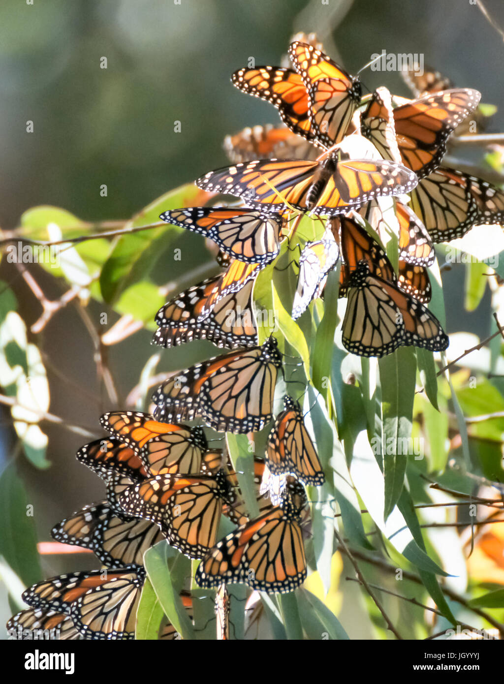 Monarch Butterfly (Danaus plexippus) Cluster - Stock Image