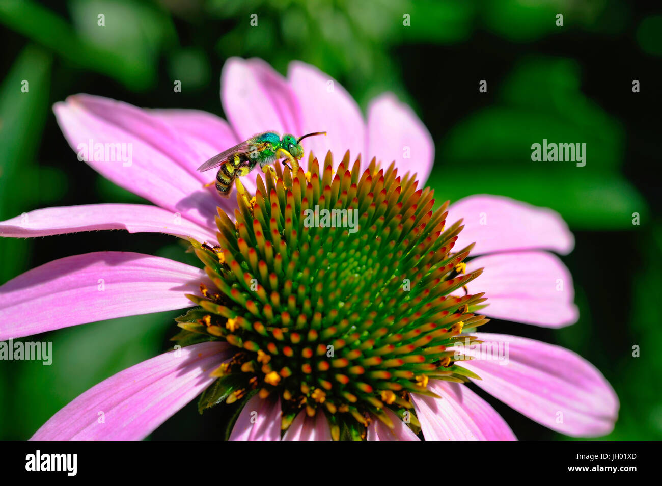 An iridescent green Sweat Bee examines the spiney center of a blooming Echinacea flower. - Stock Image