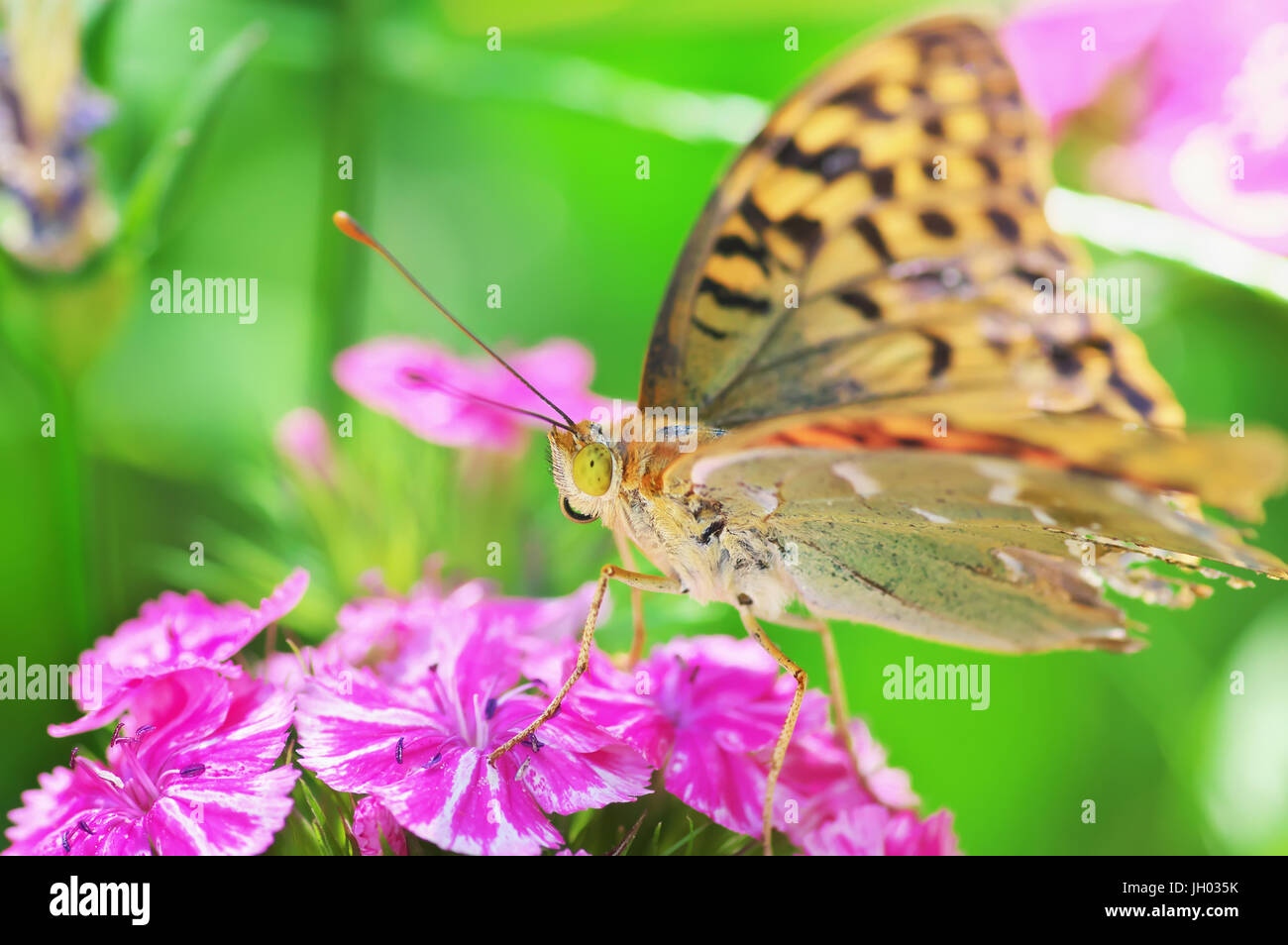 9d995f3f5 Painted lady butterfly on red flowers. Macro close up of a colourful  butterfly (Vanessa