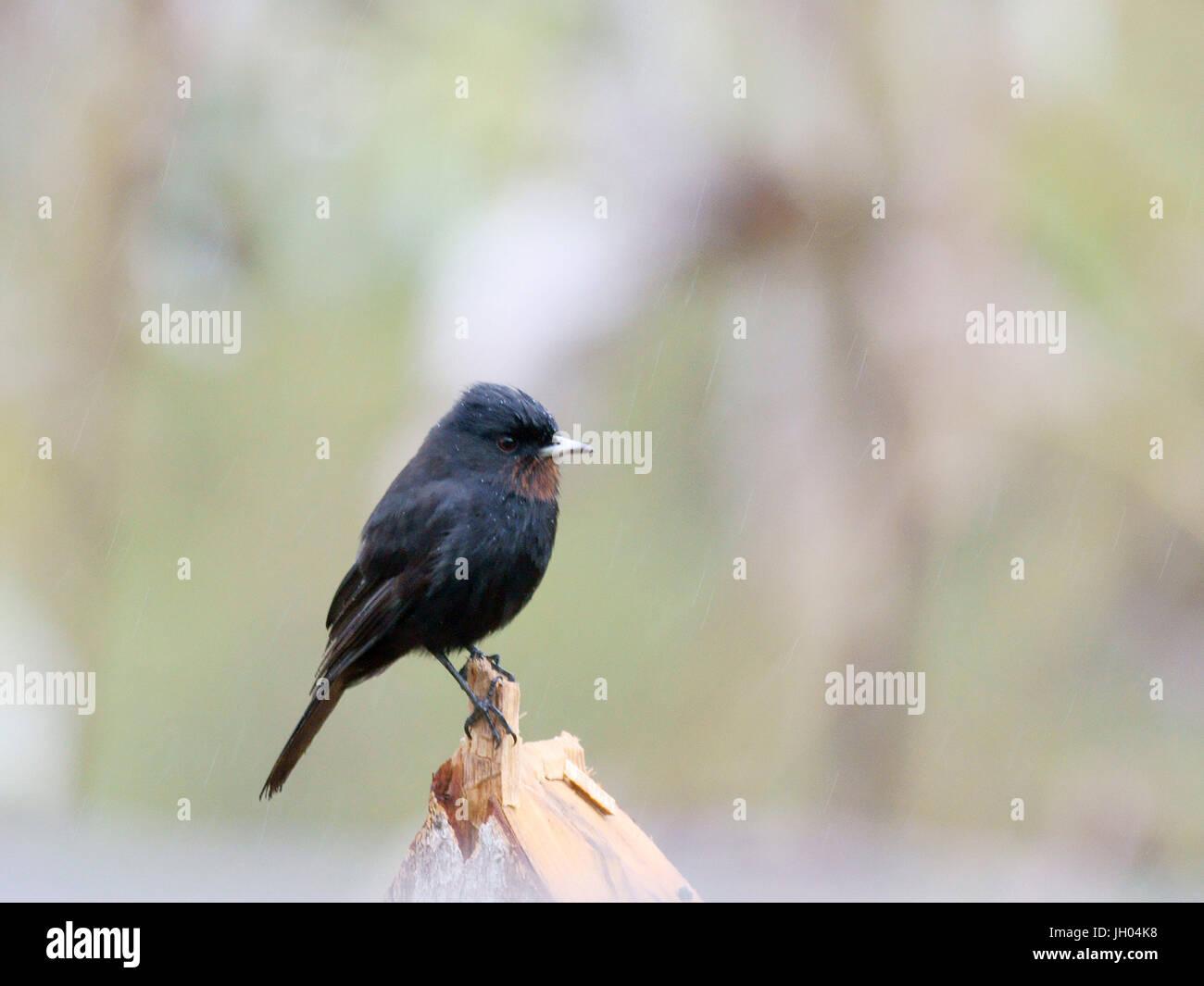 Black Bird With Red Throat 4