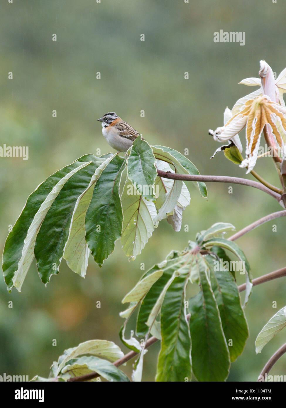 Bird, Tick-tick, Chapada Diamantina, Bahia, Brazil Stock Photo