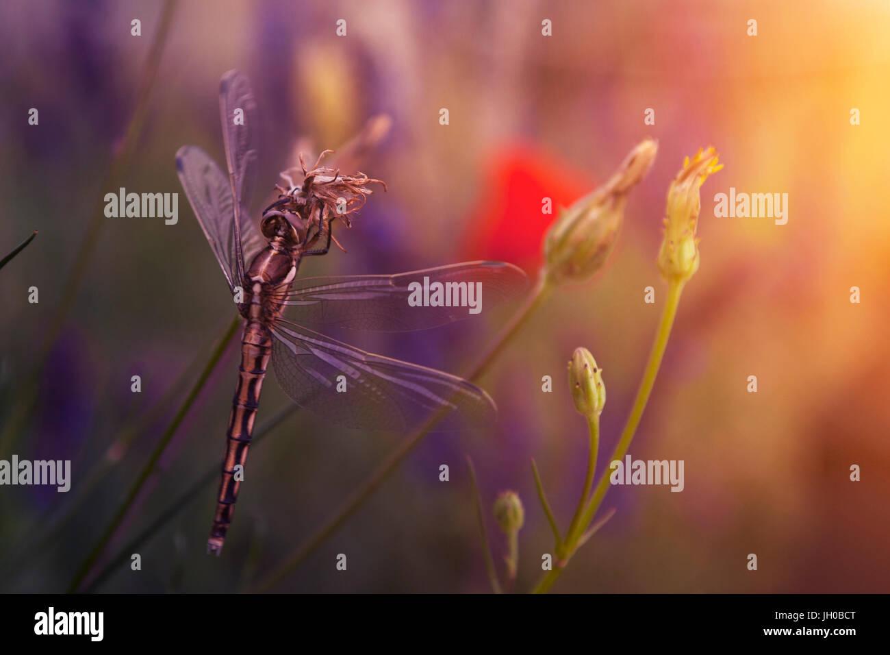 Dragonfly on flower in summer sunset - Stock Image