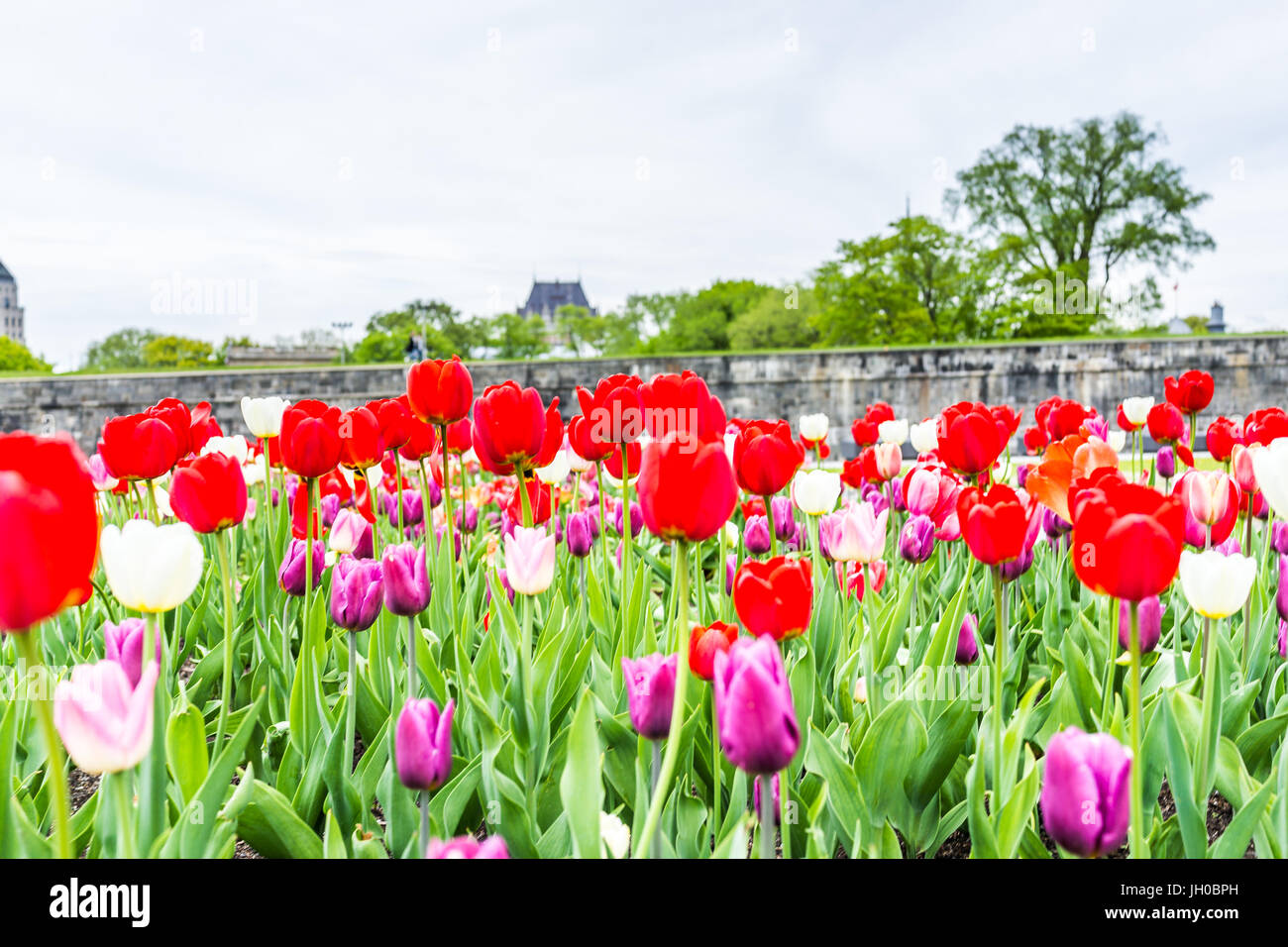 Quebec City, Canada - May 29, 2017: Macro closeup of purple and red tulips in summer by green grass fields plains - Stock Image