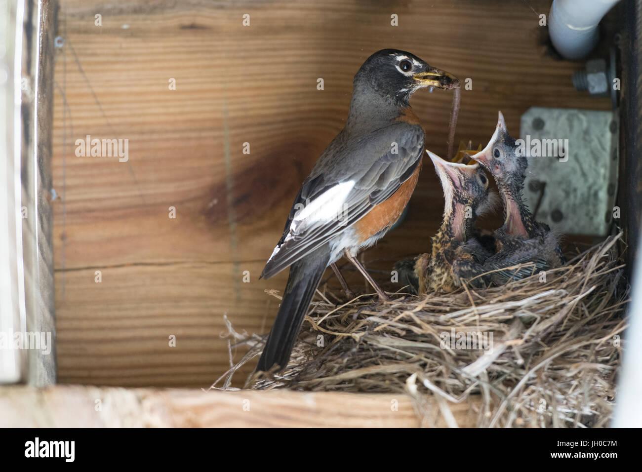 Robin feeding baby birds - Stock Image