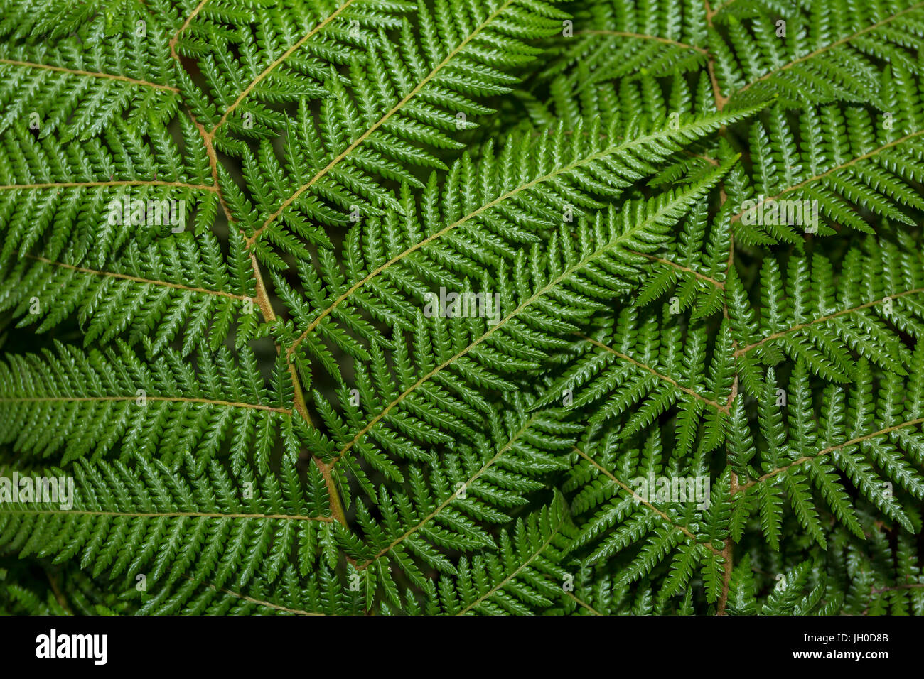 fern leaves, Rombauer Vineyards, Silverado Trail, Saint Helena, Napa Valley, Napa County, California, United States, - Stock Image