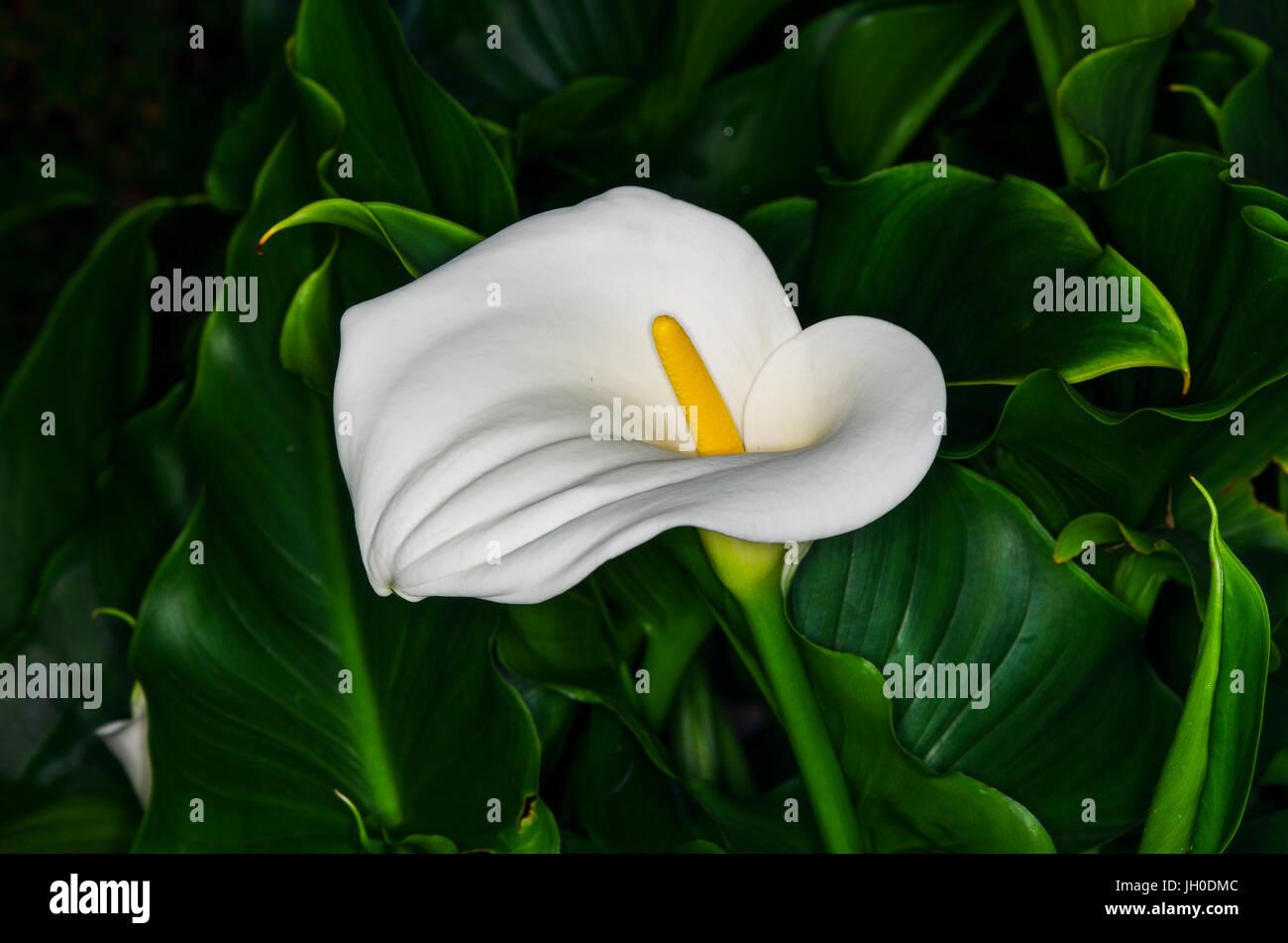 White Anthurium Flower Stock Photos White Anthurium Flower Stock
