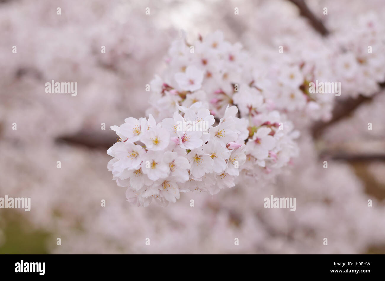 Cherry Blossom With Soft Focus Sakura Flowers In Japan Stock Photo